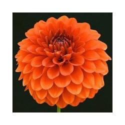 Dahlien orange