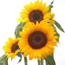 Sonnenblumen - Blumen pur!