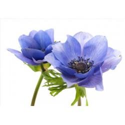 Anemonen blau