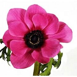 Anemonen rosa
