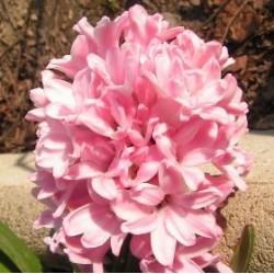 Hyazinthen rosa