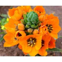 Orni. Dubium orange