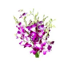 Dendrobium - Blumen pur!