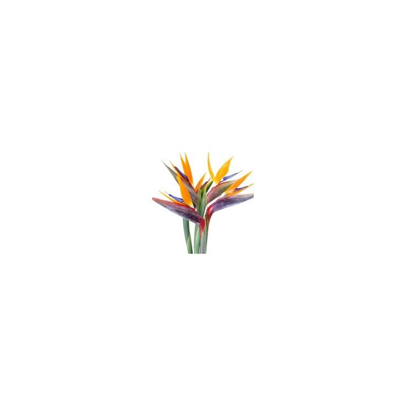 Strelitzien - Blumen pur!